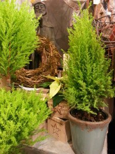 Cypress small