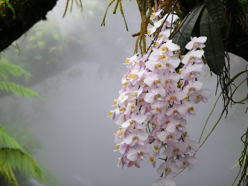Phalaenopsis_philippinensis_NationalOrchidGarden-Singapore
