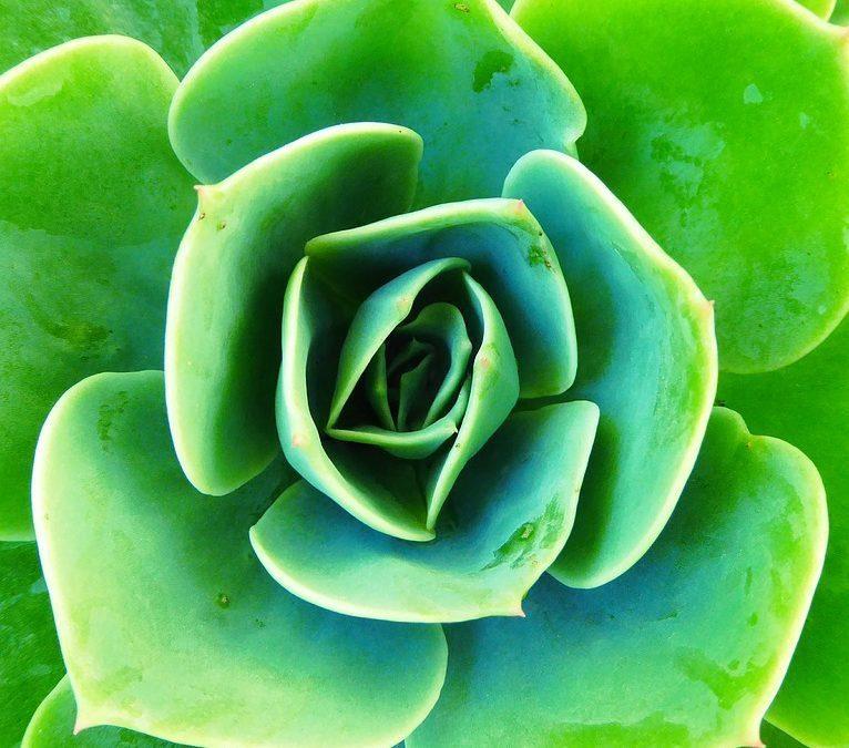 Plant Profile: Echeveria