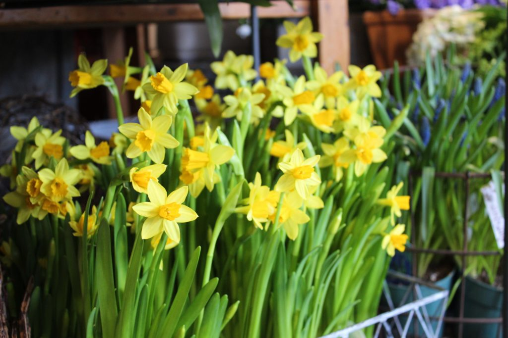 Abundance of yellow daffodils in a basket.