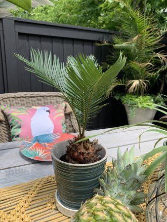 Mini sago palms