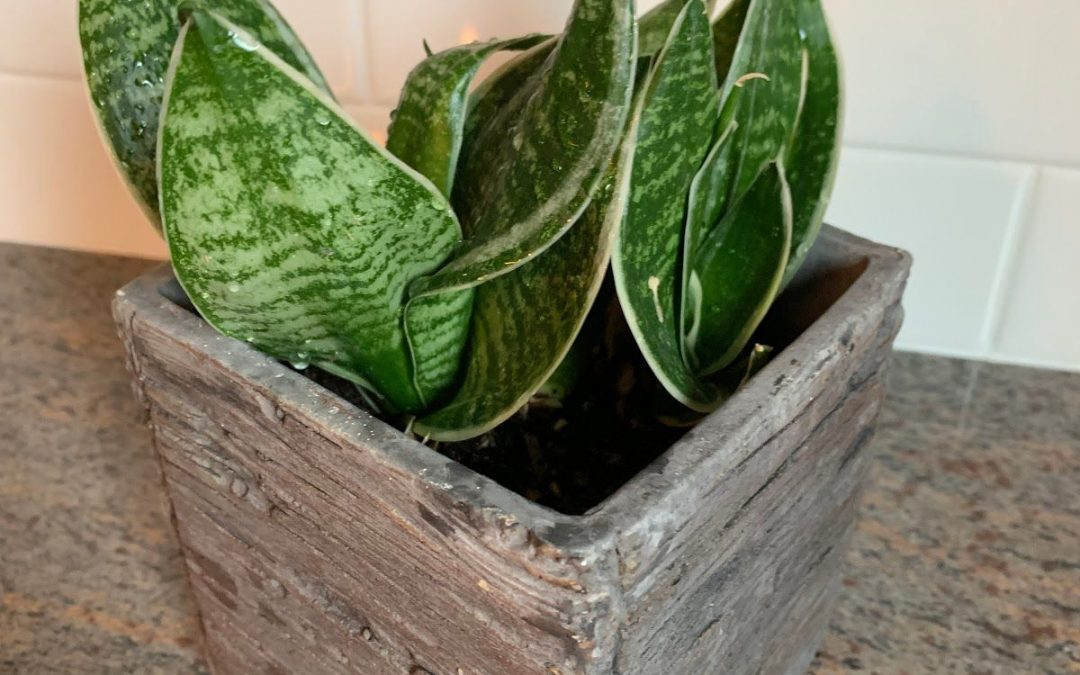 freshly watered tropical plant in a decorative pot
