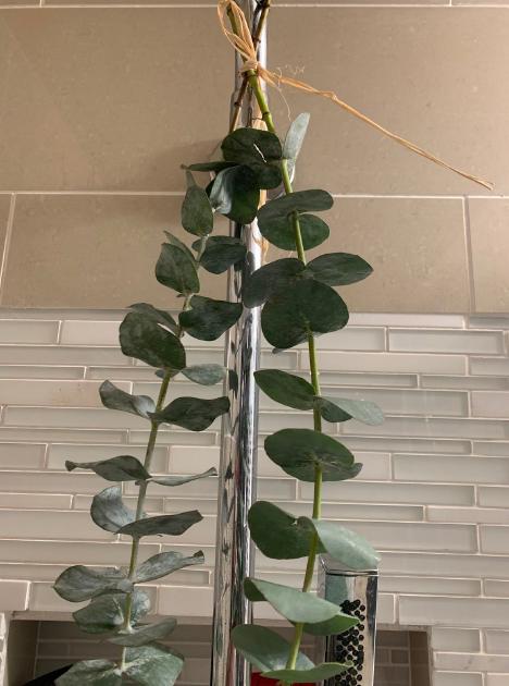 eucalyptus hanging in the shower
