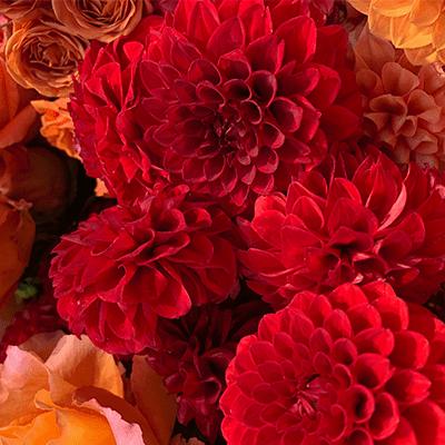 Red and Orange Dahlias - Flowers Talk Tivoli