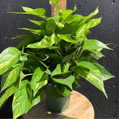 Pothos plant in pot sitting on stool