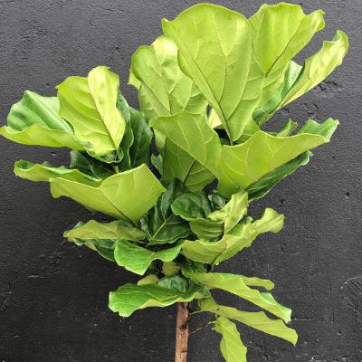 Fiddle Leaf Fig Tree