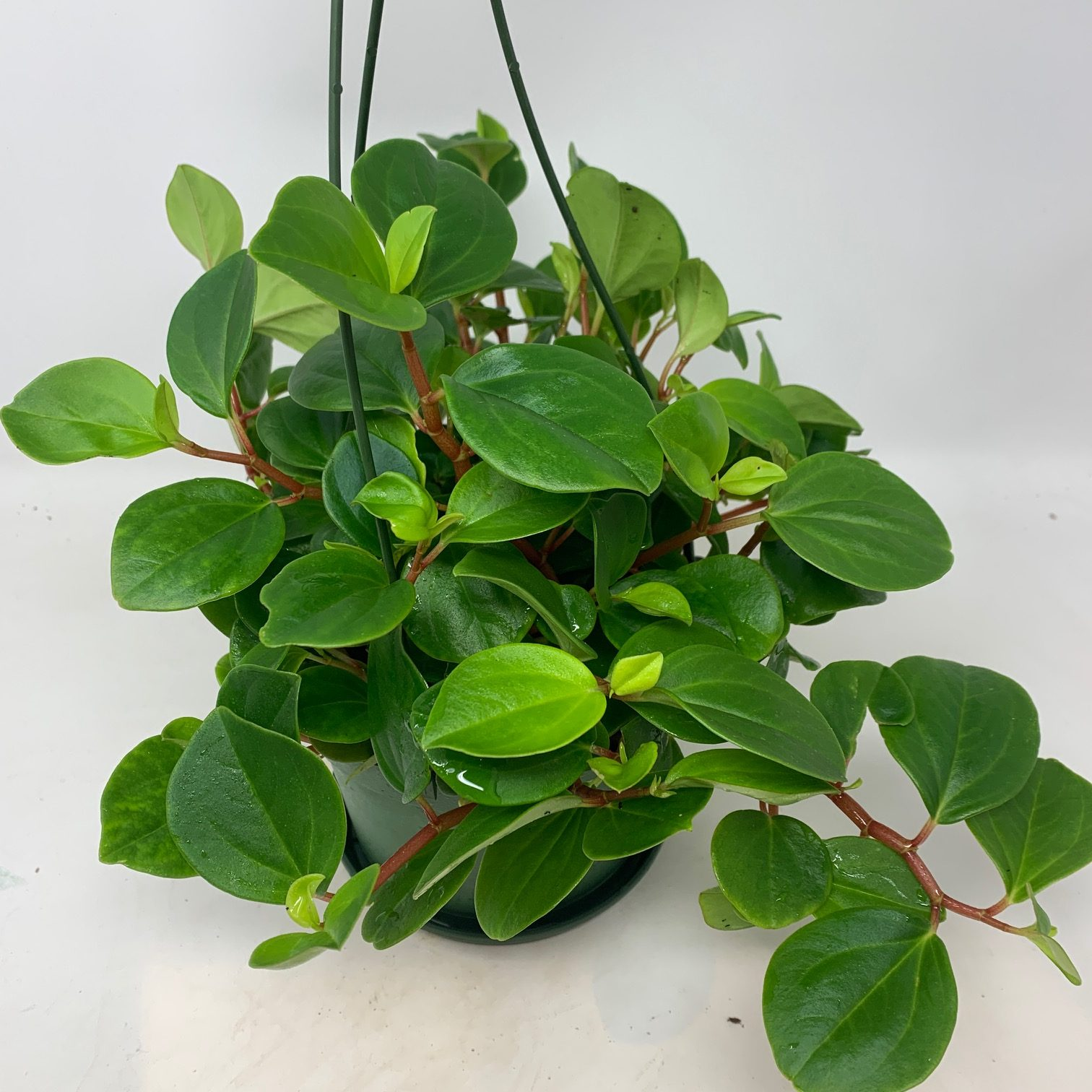 Peperomia in hanging pot