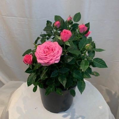 6 Inch Mini Rose Pink