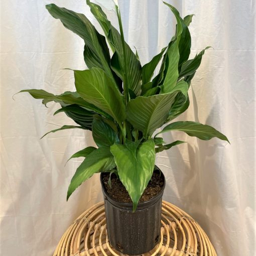 """8"""" Peace Lily"""