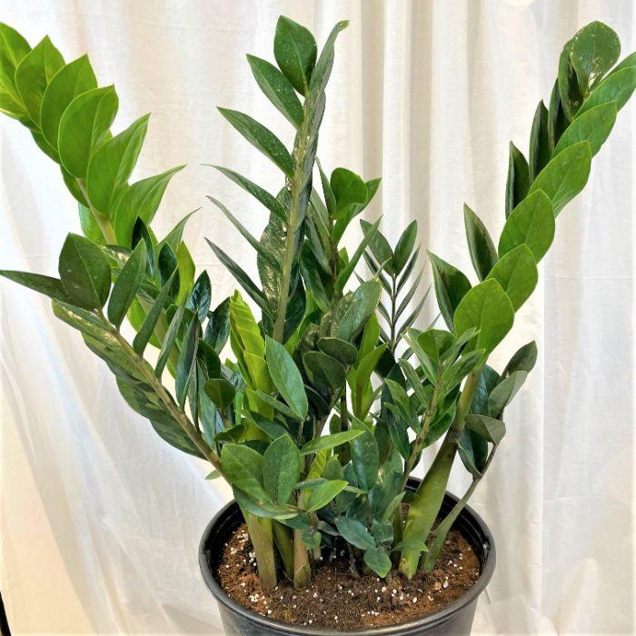 12 inch ZZ plant