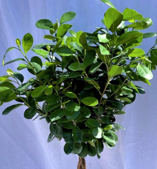 10 inch ficus moclame braid on a white background
