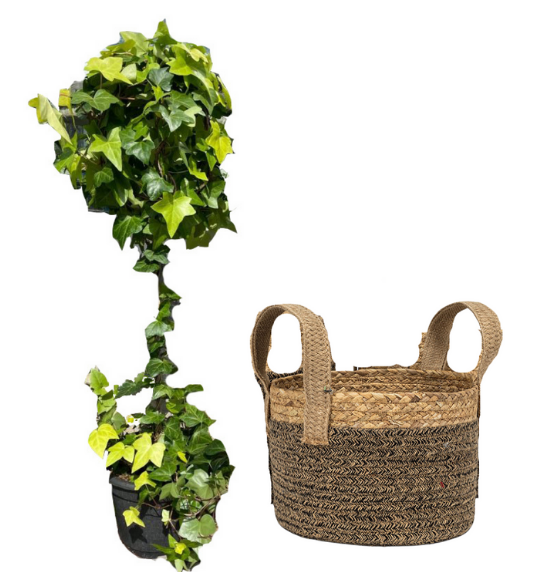 Spanish Ivy Topiary in Plant Basket against white background