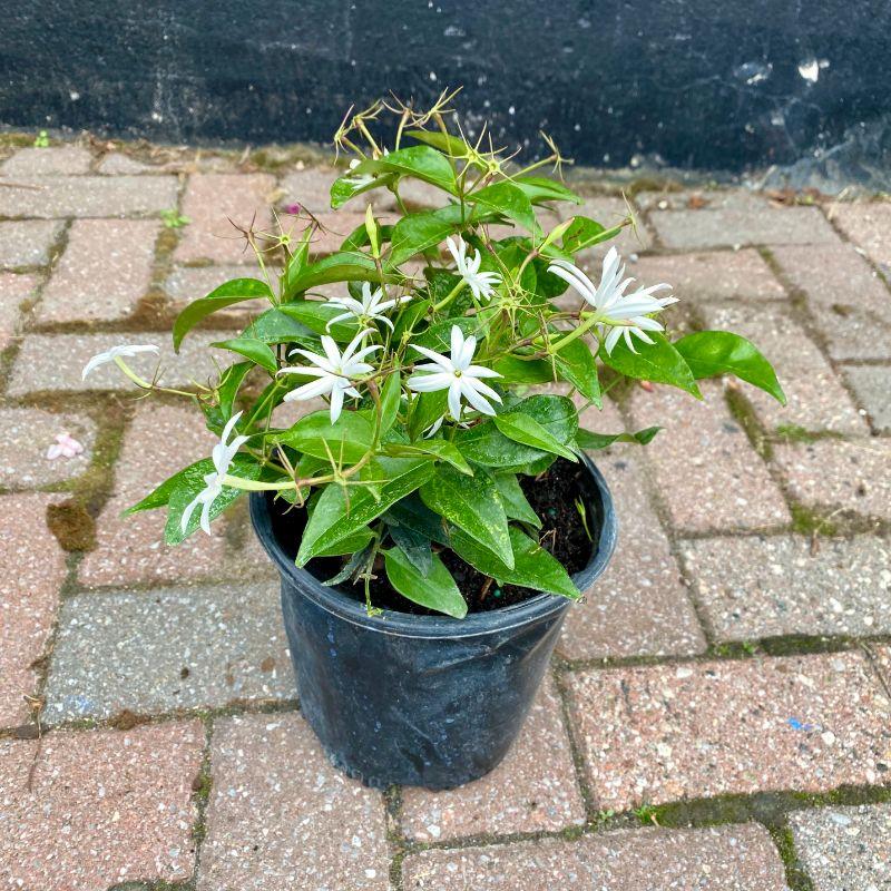 6 inch angel wing jasmine in a black pot on a brick floor