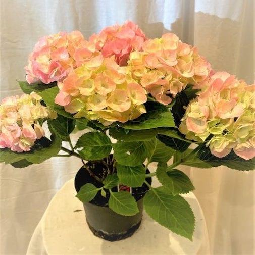 "6"" Hydrangea Light Pink"
