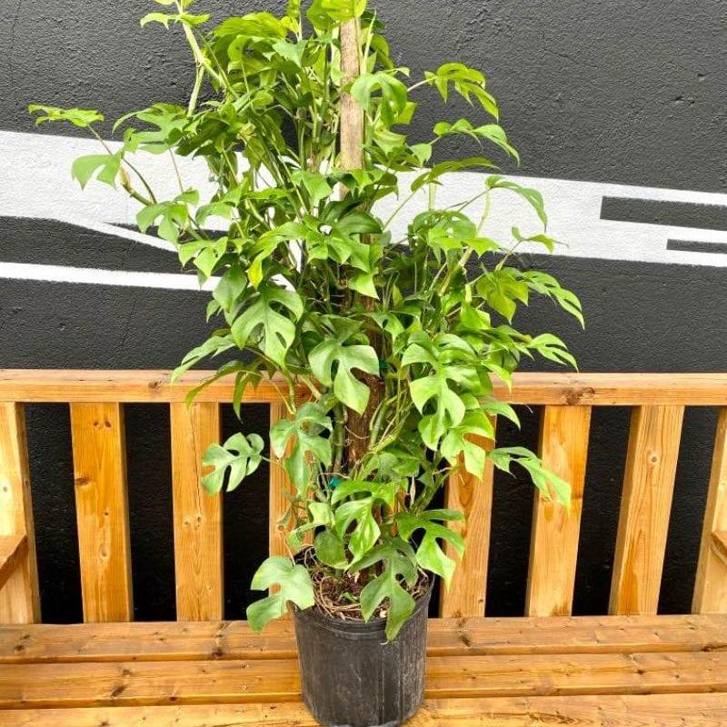 Philodendron Minima