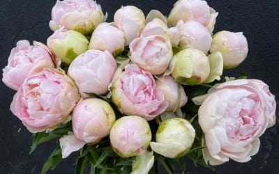 Top 5 Reasons why Peonies are my Favourite Flower
