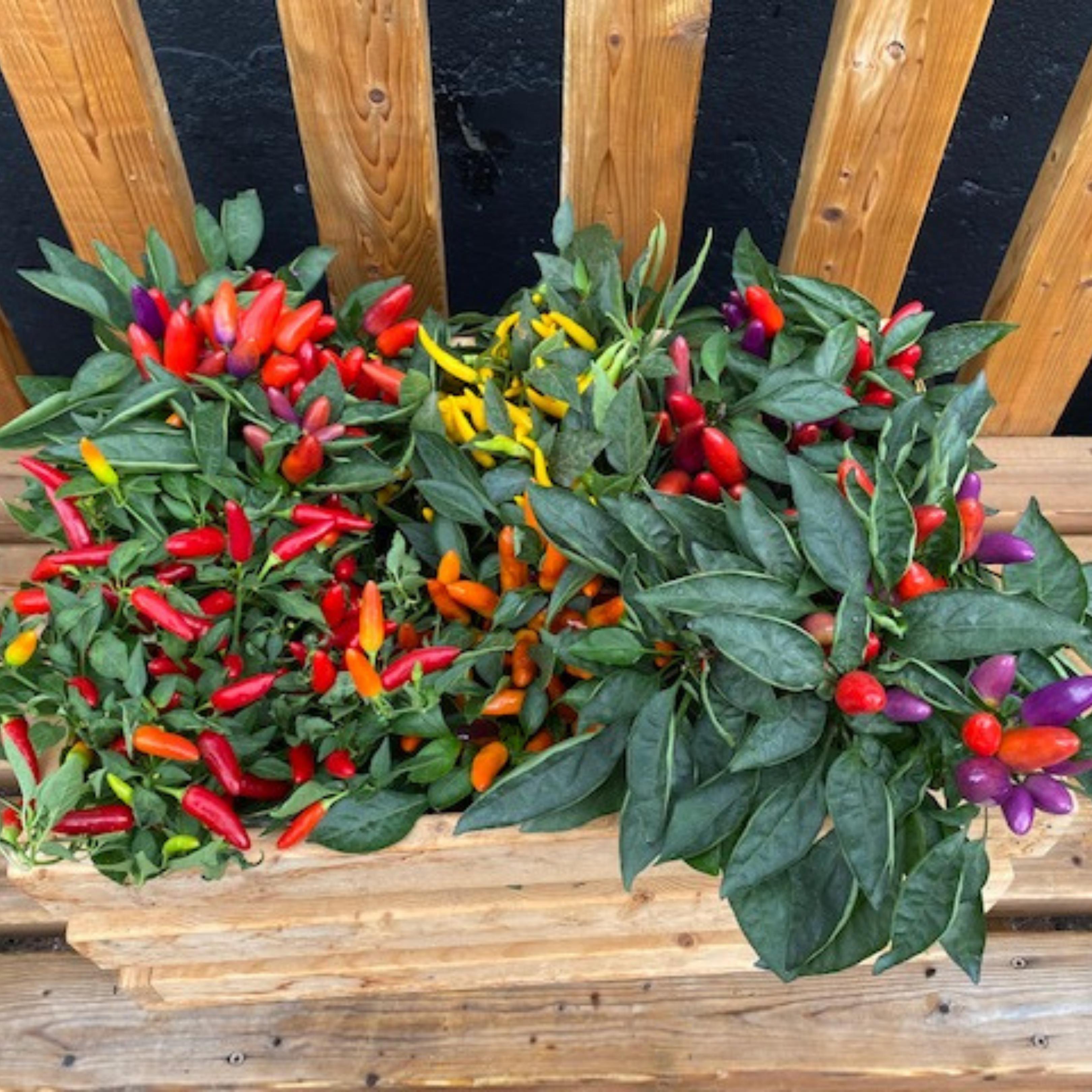 Falling For DIYs Fall Planters, Workshops & More Ornamental Peppers