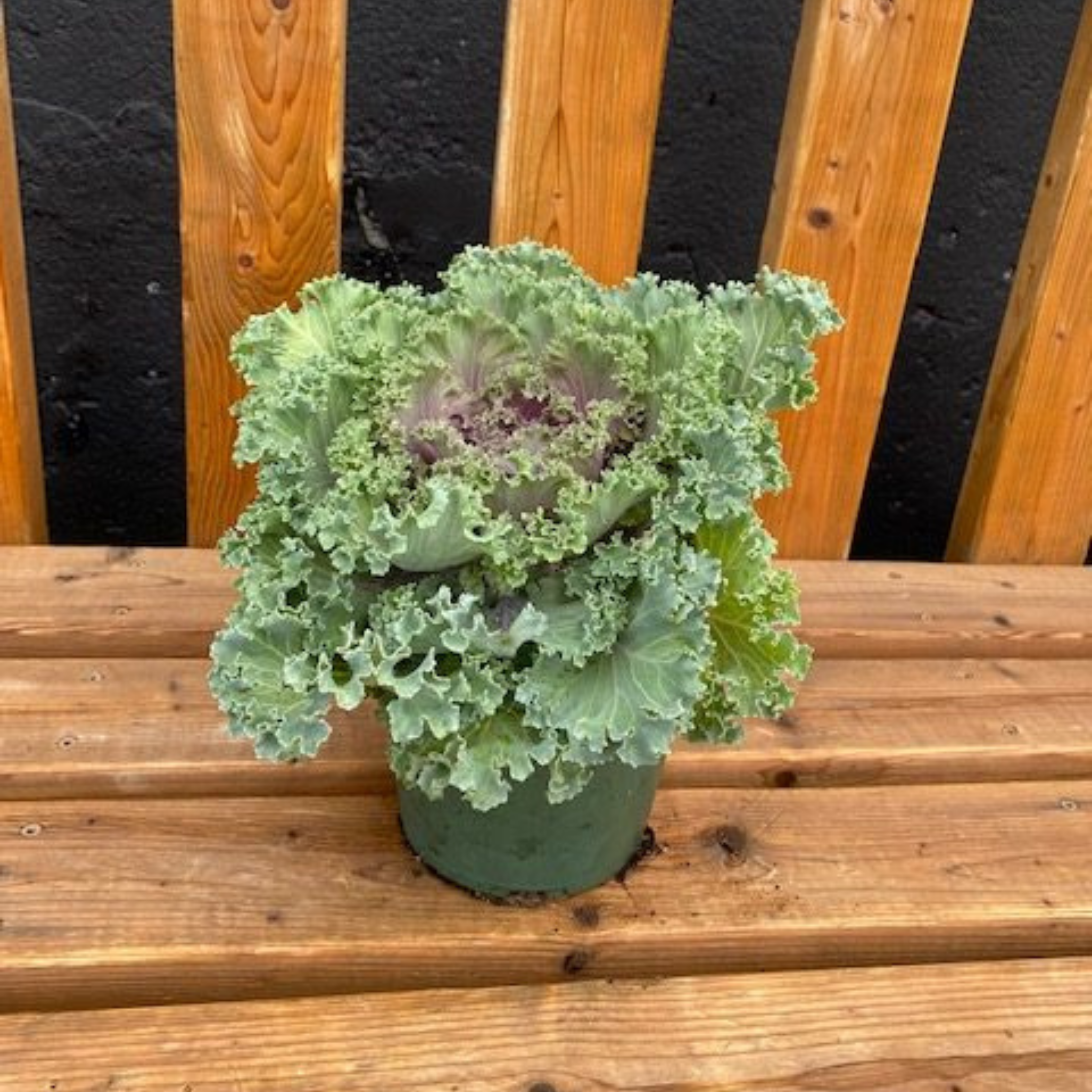 Falling For DIYs Fall Planters, Workshops & More - Purple Ornamental Kale